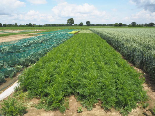 Ein beispielhafter Blick auf unser Gemüsefeld 2018 im Sommer. Im Vordergrund zu sehen Möhren und Spitzkohl. Im Hintergrund weiterer Kohl, Salate, Knoblauch und Sellerie. Auch zu sehen sind zwei unserer Ackerbaukulturen: Weizen und Zuckerrüben.