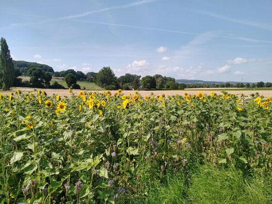 Derzeit dominant sind die Sonnenblumen. Von ihnen überwachsen sind u.a. noch Phacelia, verschiedene Klee-Arten, Lupinen und Ringelblumen in der Mischung enthalten. Je nach Jahreszeit und Witterung ist immer eine andere Art dominant und bietet Blühpracht.
