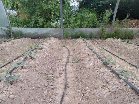 Junge Süßkartoffelpflanzen