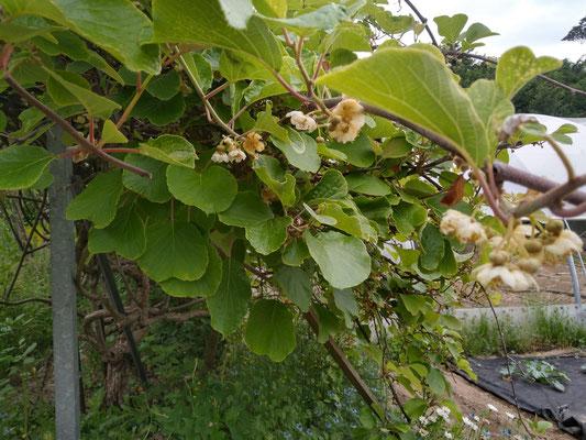 Blüte an der alten Kiwihecke