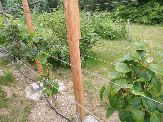 Um Ihnen bald noch mehr Kiwis bieten zu können, haben wir dieses Jahr noch eine zweite Kiwihecke bepflanzt.