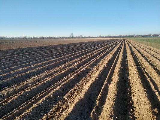 Fertiges Kartoffelfeld bei strahlend blauem Himmel.