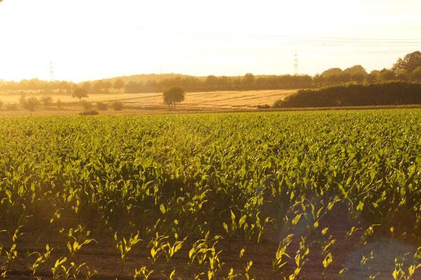 In unmittelbarer Nähe war ein Maisfeld, keine Sorge wir haben es weder betreten noch etwas davon genommen^^