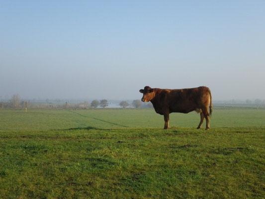 Kuh am Niederrhein