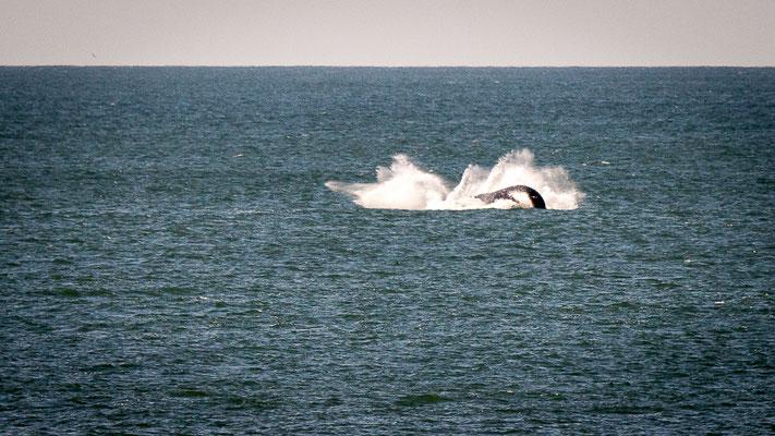 Wale vor Florianopolis