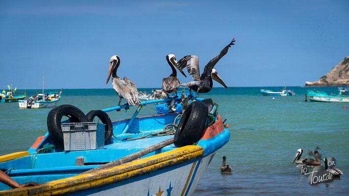 Playa Machalilla - warten auf Fischreste