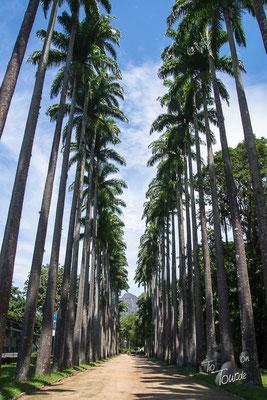 Botanischer Garten, Palmenallee