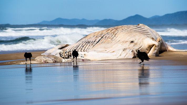 Gestrandeter Wal - Praia Mocambique
