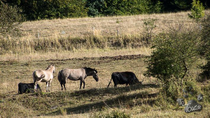 Konikpferde und Taurisrinder auf der Schmidtenhöhe