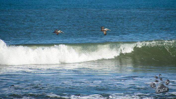 Pelikane auf Beutezug