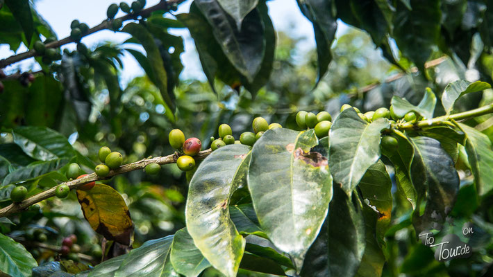 Finca Guayabal - Kaffeeplantage