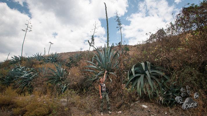 Yucca - gigantisch hoch