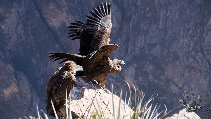 Bei den Kondoren im Colca-Canyon