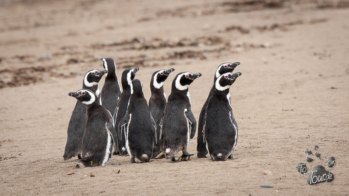 Punta Quilla - Magellan Pinguinkolonie