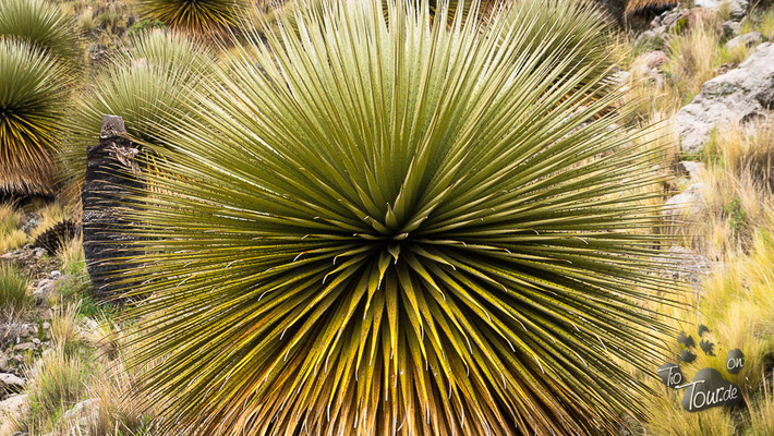 Puya Raimondii - Riesenbromelie, ohne Blütenstand