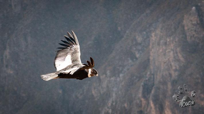 Kondore am Cruz del Condor