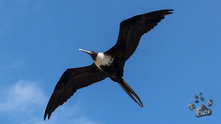 El Matal - Fregattvogel auf der Suche