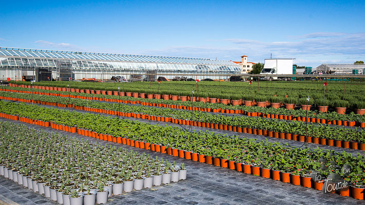 Albenga - tausende Kräutertöpfe für den Versand
