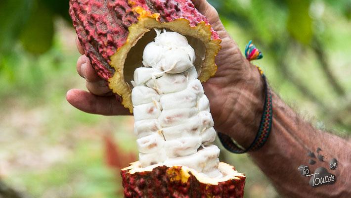 Kakaofrucht - der weiße Glibber um die Bohnen ist zuckersüß