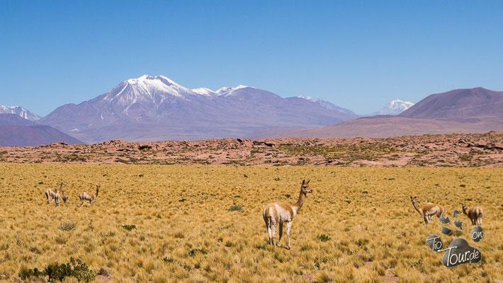 Vicuñas - erst ab einer Höhe von 3500m anzutreffen