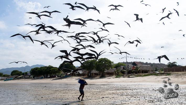 Machalilla - die Fregattvögel wollen ihren Anteil
