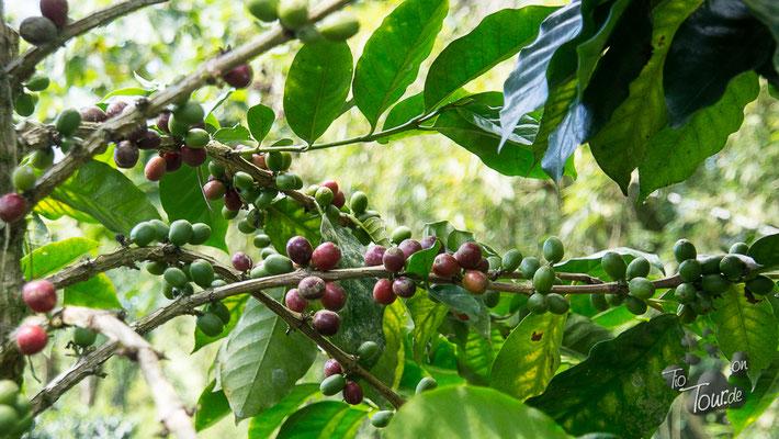 Die Früchte des Kaffeebaums