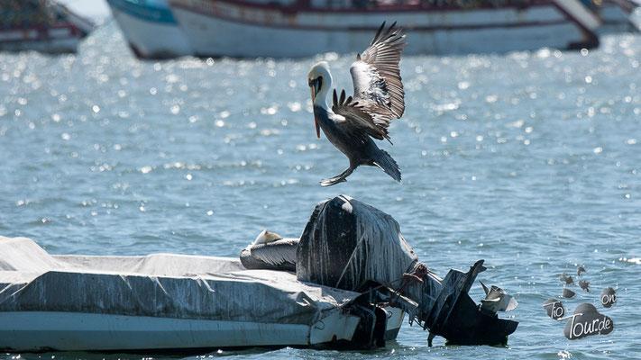 Paracas - Pelikane am Strand