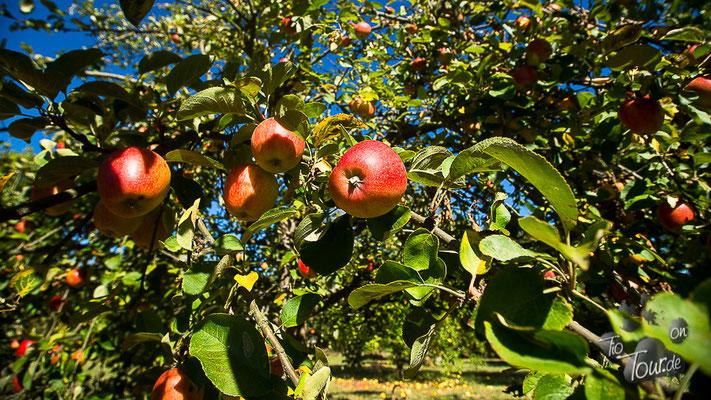 Apfelernte im ehemals eigenen Garten ;-)