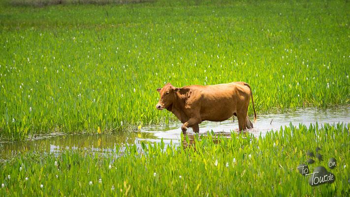 Pantanal - läuft zwar im Wasser, ist aber KEIN Wasserbüffel ;-)