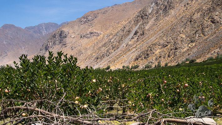 Apfelplantagen