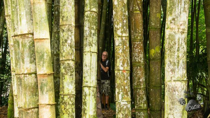 Botanischer Garten - mannstarker Bambus