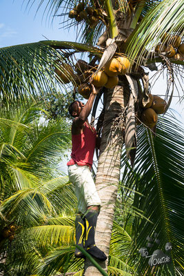 Auf die Bäume...... zum Kokosnüsse ernten.