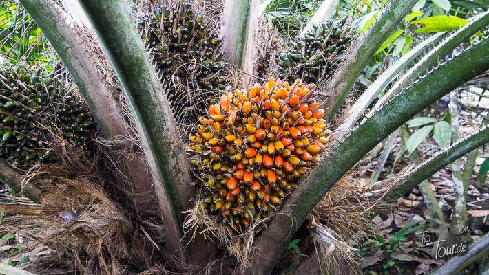 Ölpalmenfrüchte - gepresst wird Palmöl draus...