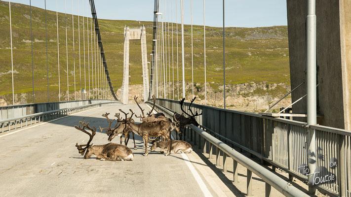 Total entspannt auf der Brücke - eine Herde Rentiere
