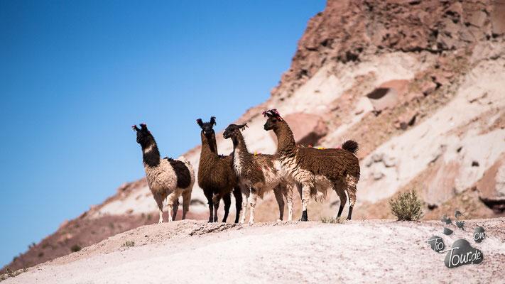 Valle del Arco Iris - neugierige Lamas