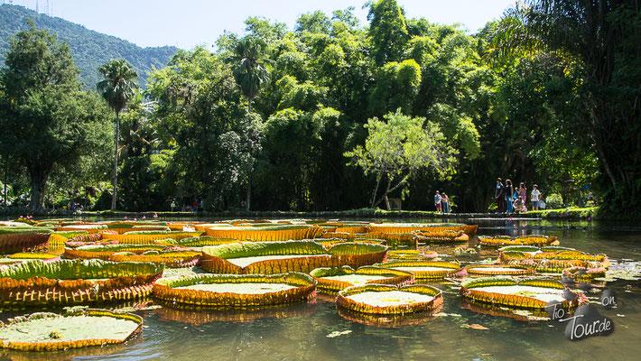 Botanischer Garten, größte Seerose des Amazonas
