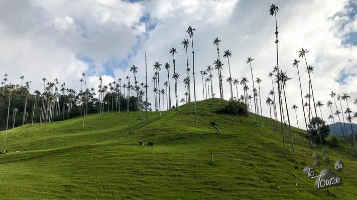 Salento - Valle de Cocora, Wachspalmen - bis zu 60m hoch