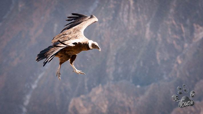 Im Colca-Canyon beim König der Anden