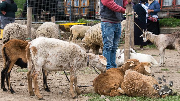 Viehmarkt in Otavalo - Warten auf neue Besitzer