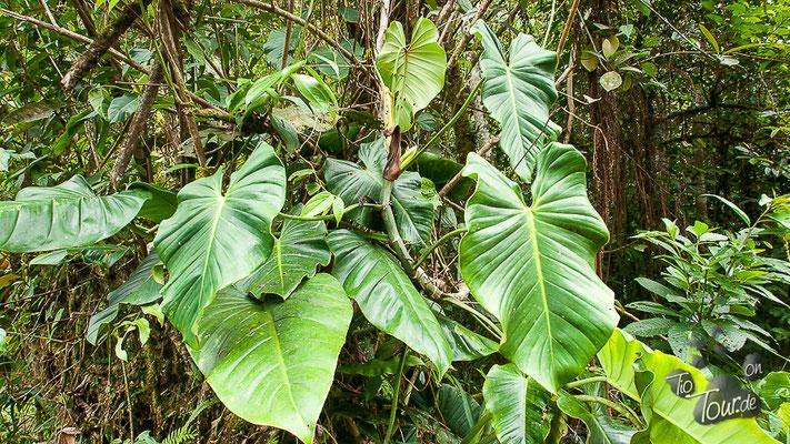 Nationalpark Podocarpus