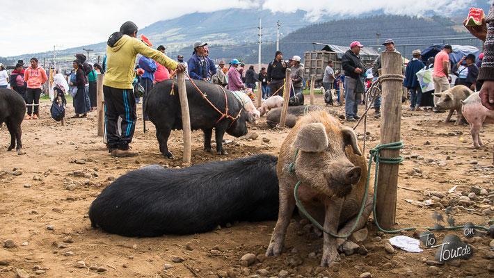 Viehmarkt in Otavalo - Schweinereien ;-)
