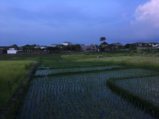paddy (rice field)