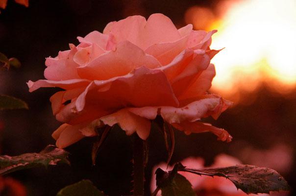 Für Euch eine Rose in der Nacht, Fotografie von Eva Maria Henning-Bekka auf der Aachener Kunstroute 2016