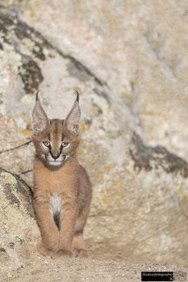 Karakal Kitten