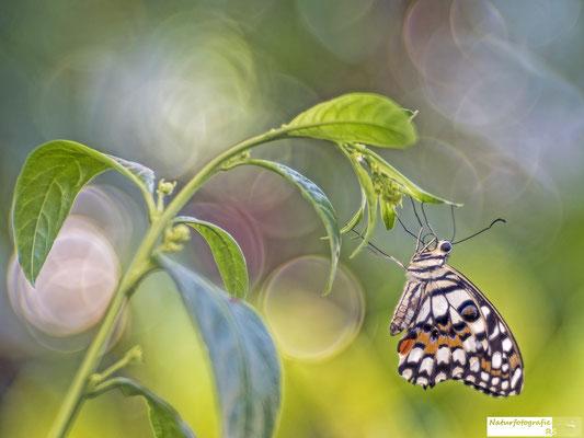 Schmetterling (Trioplan)
