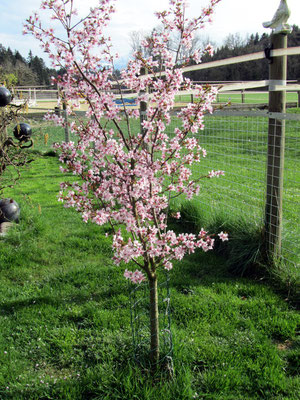 Frühling am Chirschibäumli