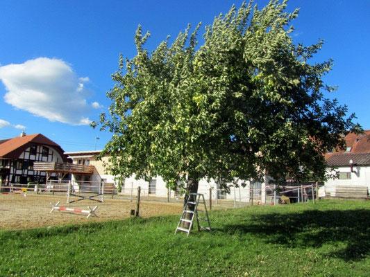 unser Klaröpfelbaum