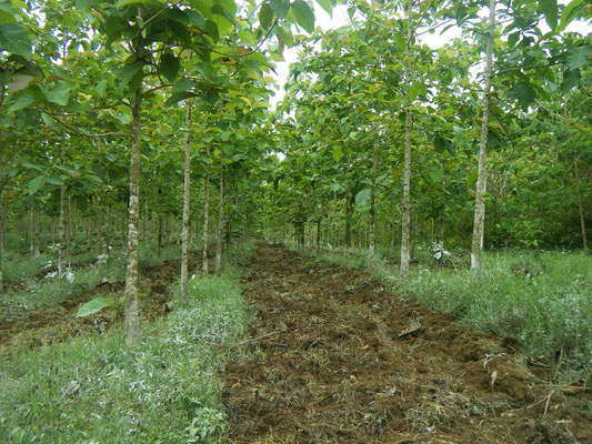 Junge Teakbäume auf der Plantage.