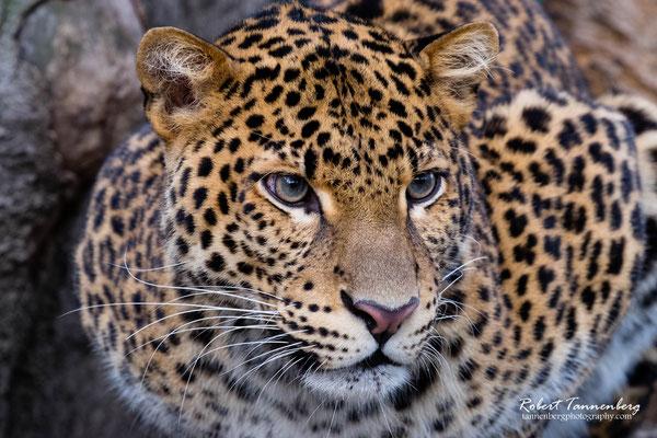 Javaleopard