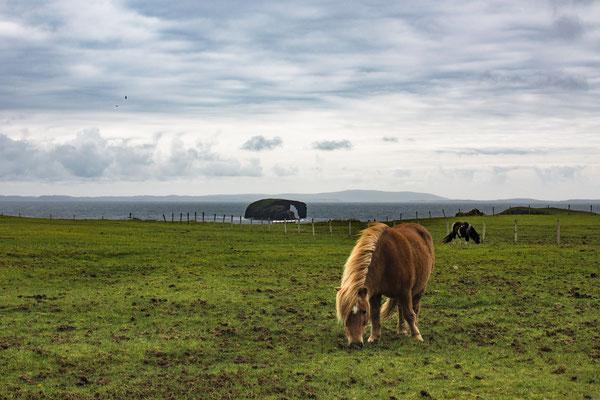 die berühmten Shetlandponys / the famous shetlandponys